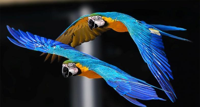 Resultado de imagen para Guacamayos azules y dorados